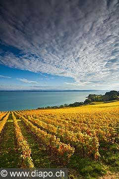 10443 - Photo : le vignoble de Cortaillod dans le canton de Neuchâtel et son lac