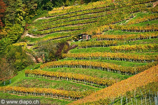 10453 - Photo : le vignoble du Vully Fribourgeois