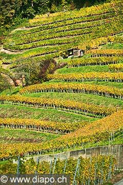10454 - Photo : le vignoble du Vully Fribourgeois