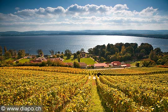 10457 - Photo : le vignoble du Vully Vaudois, sentier viticole de Vallamand et le lac de Morat