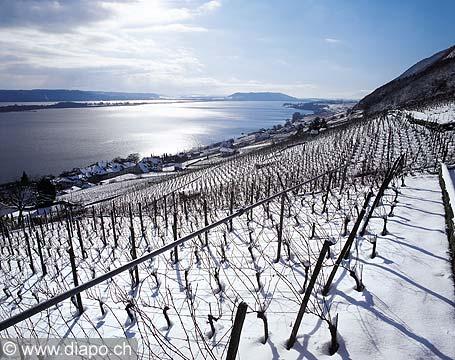 2785 - le vignoble de Ligerz dans le canton de Berne et le lac bienne avec l'île de Saint-Pierre