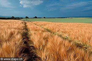 3056 - L'orge et le blé, si on se réfère à l'histoire de la nutrition humaine, font partie des céréales les plus ancienne. Ils étaient cultivés en Mésopotamie et en Basse-Egypte environ 4000 ans avant J.C.