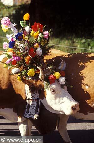 3074 - Lors de la Désalpe, la Rindya en patois, fête traditionnelle des montagnards fribourgeois, les vaches sont décorées de cloches carillonnantes et de fleurs afin de leurs rendre hommage.