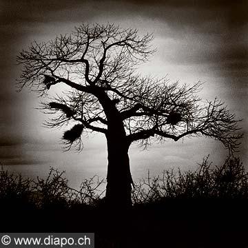 9134 - Photo: Kenya - un arbre dans la savanne