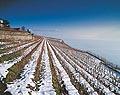 143 - Vignoble sous Chexbres sous la neige