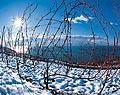 186 - sarments en hiver