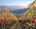 214 - Hallau, le plus grand vignoble d'un seul tenant de Suisse orientale(SH).