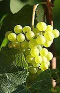 313 - Chardonnay