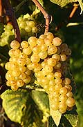 321 - Pinot blanc