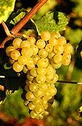 322 - Pinot blanc
