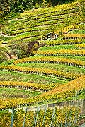10454 - Photo : le vignoble du Vully Fribourgeois