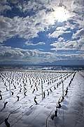 10486 - Photo : Suisse, vignoble de Genève sous la neige vers Bourdigny  - Geneva, switzerland, swiss wines - wein, schweiz