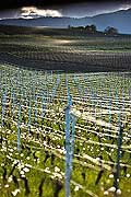 10516 - Photo : Suisse, vignoble de Genève, Dardagny - Geneva, switzerland, swiss wines - wein, schweiz