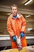 11090 - Photo :  Norvège,  Arctique, îles Lofoten, la pêche aux Skrei  un cabillaud pas comme les autres, le soir les pêcheurs rentrent au port avec le fruit de leurs pêche