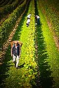 12911 - Photo : Suisse, vendanges dans le canton de Genève