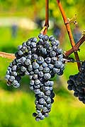 12926 - Photo : Suisse, vendanges dans le canton de Gen�ve