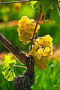 12932 - Photo : Suisse, vendanges dans le canton de Gen�ve