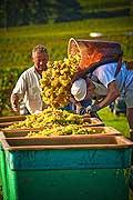 12938 - Photo : Suisse, vendanges dans le canton de Genève