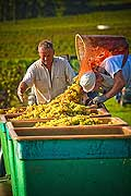 12939 - Photo : Suisse, vendanges dans le canton de Genève
