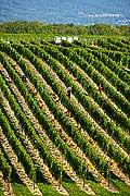 12978 - Photo : Suisse, vendanges dans le canton de Genève