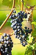 13007 - Photo : Suisse, vendanges dans le canton de Gen�ve