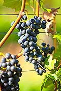 13008 - Photo : Suisse, vendanges dans le canton de Gen�ve