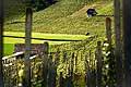 13192 - Photo Vigne Suisse alémanique vers Kleinandelfingen zürich