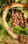 2648 - Gamay gris