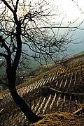 2738 - Photo : Suisse, canton de Vaud - Les coteaux de Verschiez, Chablais