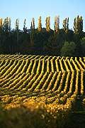 4987 - Vignoble de la Côte - canton de Vaud - Suisse