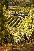 4995 - Vignoble de Genève - coteau de la Donzelle - Suisse