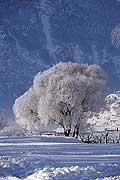 7515 - Suisse - Valais, arbre sous la neige