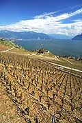 8335 - Photo : Suisse, canton de Vaud, vignoble de Lavaux suite à la grêle de 2005