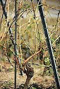 8346 - Photo : Suisse, canton de Vaud, vignoble de Lavaux suite à la grêle de 2005