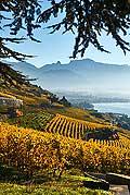 8509 - Photo : Suisse,  canton de Vaud, vignoble de Lavaux, Lac Léman