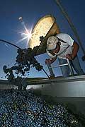 8527 - Photo : Suisse, vignoble de Genève - Vendanges