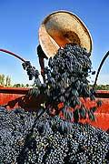 8528 - Photo : Suisse, vignoble de Genève - Vendanges