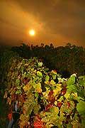 8531 - Photo : Suisse, vignoble de Genève