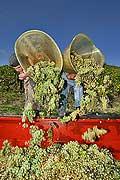 8534 - Photo : Suisse, vignoble de Genève - Vendanges