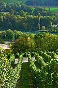 8539 - Photo : Suisse, vignoble de Genève - le coteau de la Donzelle à Dardagny