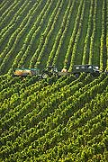 8540 - Photo : Suisse, vignoble de Gen�ve - vendanges sur le coteau de la Donzelle � Dardagny