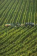 8540 - Photo : Suisse, vignoble de Genève - vendanges sur le coteau de la Donzelle à Dardagny