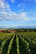 8542 - Photo : Suisse,  vignoble de Genève