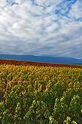 8544 - Photo : Suisse,  vignoble de Genève