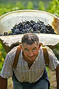 9849 - Photo : Suisse, vignoble de Genève - vendanges - Geneva, switzerland, swiss wines - wein, schweiz