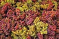 9851 - Photo : Suisse, raisin, vignoble de Genève, Geneva, switzerland, swiss wines - wein, schweiz