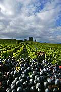 9854 - Photo : Suisse, vignoble de Genève - vendanges - Geneva, switzerland, swiss wines - wein, schweiz