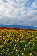 9858 - Photo : Suisse, vignoble de Genève, Geneva, switzerland, swiss wines - wein, schweiz